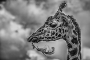 giraffe-with-feather-2-lr-1