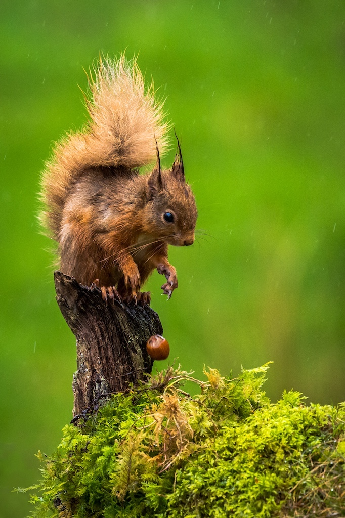 Squirrell who droped his nuts